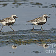 Black-bellied Plovers Poster