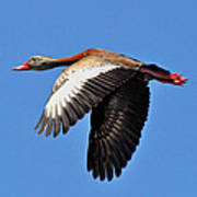 Black-bellied Whistling-duck In Flight  Poster