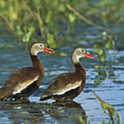 Black-bellied Whistling Ducks Wading Poster