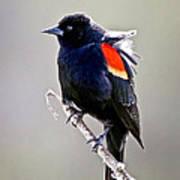 Black Bird Poster by Athena Mckinzie