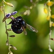 Black Bumblebee Poster