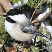 Black-capped Chickadee 9527 Poster