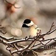 Black-capped Chickadee Poster