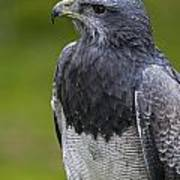 Black-chested Buzzard-eagle Poster