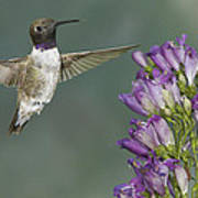 Black Chinned Hummingbird 2 Poster