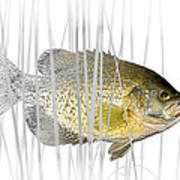 Black Crappie Pan Fish In The Reeds Poster