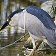 Black-crown Heron Going Fishing Poster