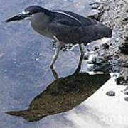 Black Crowned Night Heron And Shadow Poster
