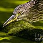 Black Crowned Night Heron Pictures 115 Poster