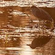 Black-crowned Night Heron Sunset Poster