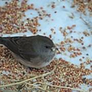 Black Eyed Junco Poster