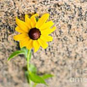 Black-eyed Susan Flower On A Gneiss Rock Poster