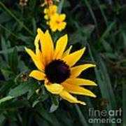 Black-eyed Susan Glows With Cheer Poster