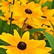 Black Eyed Susan - Flower Poster