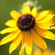 Black-eyed Susan With Friend Poster