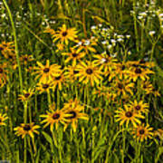Black Eyed Susans Poster by Paul Herrmann