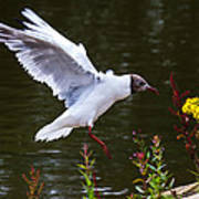Black Head Gull - Preparing For Landing Poster