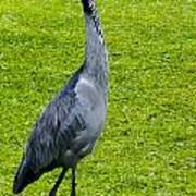 Black Headed Heron Poster
