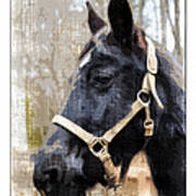 Black Horse Poster by Susan Leggett