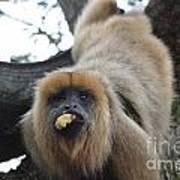 Black Howler Monkey  Poster
