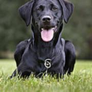 Black Labrador Dog Poster