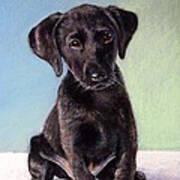Black Labrador Puppy Poster by Prashant Shah