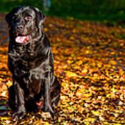 Black Labrador Retriever In Autumn Forest Poster