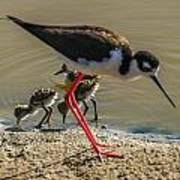 Black Neck Stilt And Babies Poster