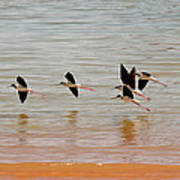 Black-necked Stilt - Lake Powell Poster