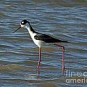 Black Necked Stilt Poster
