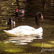 Black-necked Swan Poster