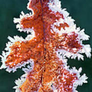 Black Oak Leaf Rime Ice Yosemite National Park California Poster