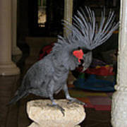 Black Palm Cockatoo Poster