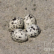 Black Skimmer Eggs Poster