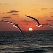 Black Skimmers At Sunset Poster