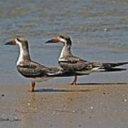 Black Skimmers On The Beach Poster