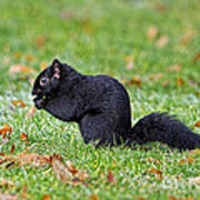 Black Squirrel Poster