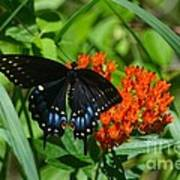 Black Swallow Tail On Beautiful Orange Wildlflower Poster