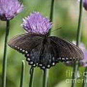 Black Swallowtail On Chives Poster
