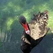 Black Swan 3 Poster