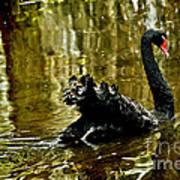 Black Swan Lake Poster