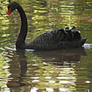 Black Swan Series II Poster