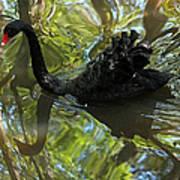 Black Swan Series V  Poster