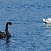 Black Swan White Swan Poster