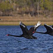 Black Swans In Flight Poster