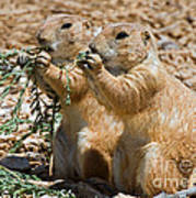 Black Tail Prairie Dogs Poster
