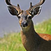 Black Tailed Deer Poster