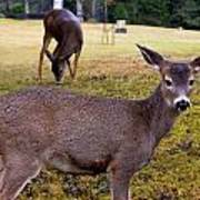 Black-tailed Deer Poster
