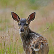 Black Tailed Fawn Poster