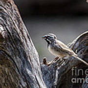 Black Throated Sparrow Poster